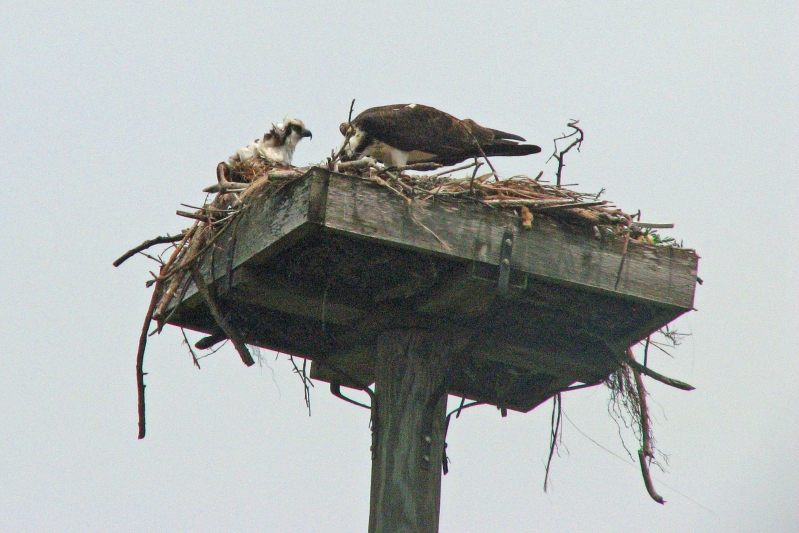 nestling and mama osprey ed