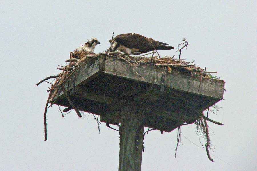 nestling and mama osprey ed