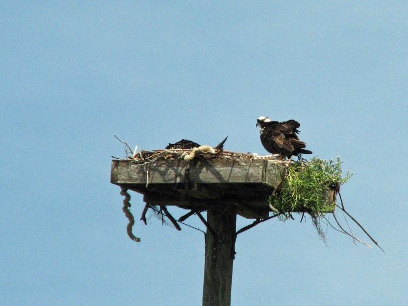 Mama osprey guarding her sleeping nestling