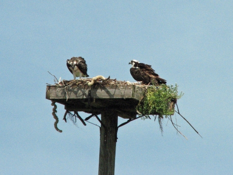 The osprey teen is waking up...