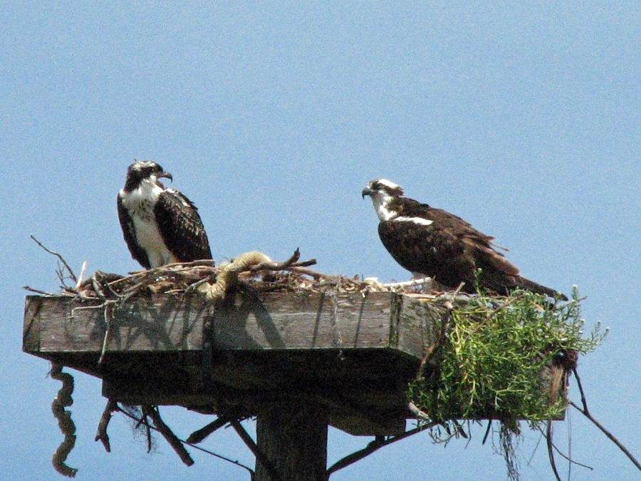 Osprey discussion...on the loud side this morning