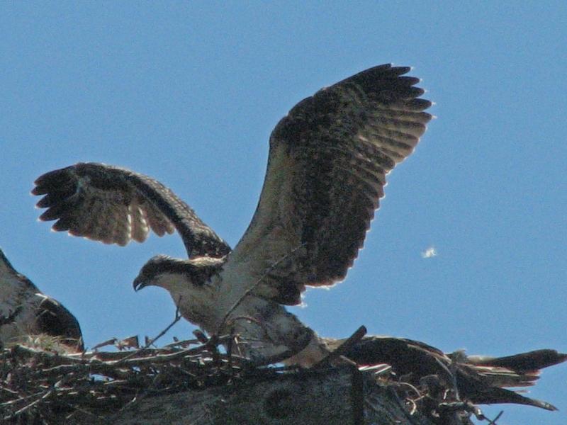 osprey nestling flexing