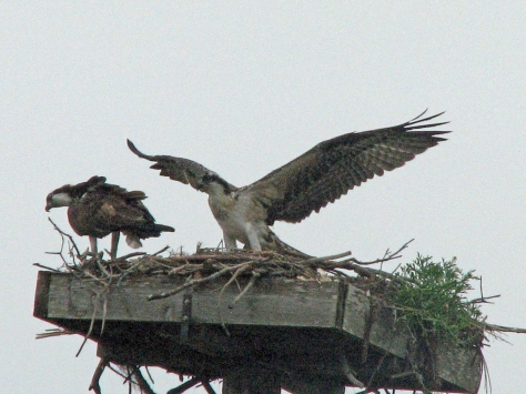 osprey flying practice 1 511 ed