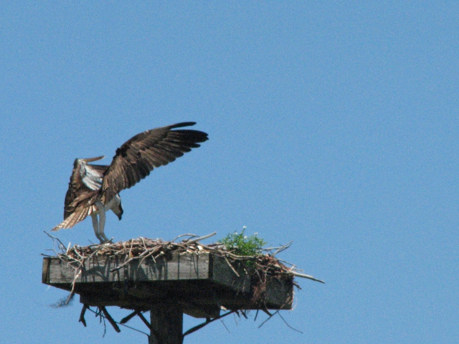 osprey landing back to nest