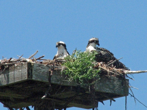 osprey mama and nesting best 513