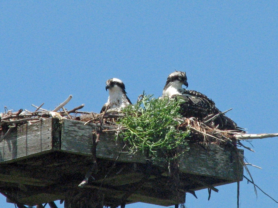 osprey mama and nesting best 513