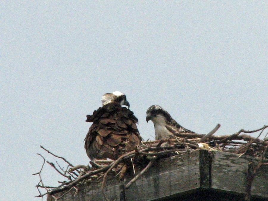 Mama osprey and nestling resting after lunch