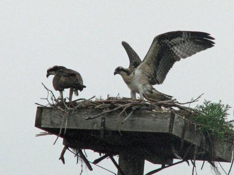 osprey nestling flying practice 511 ed