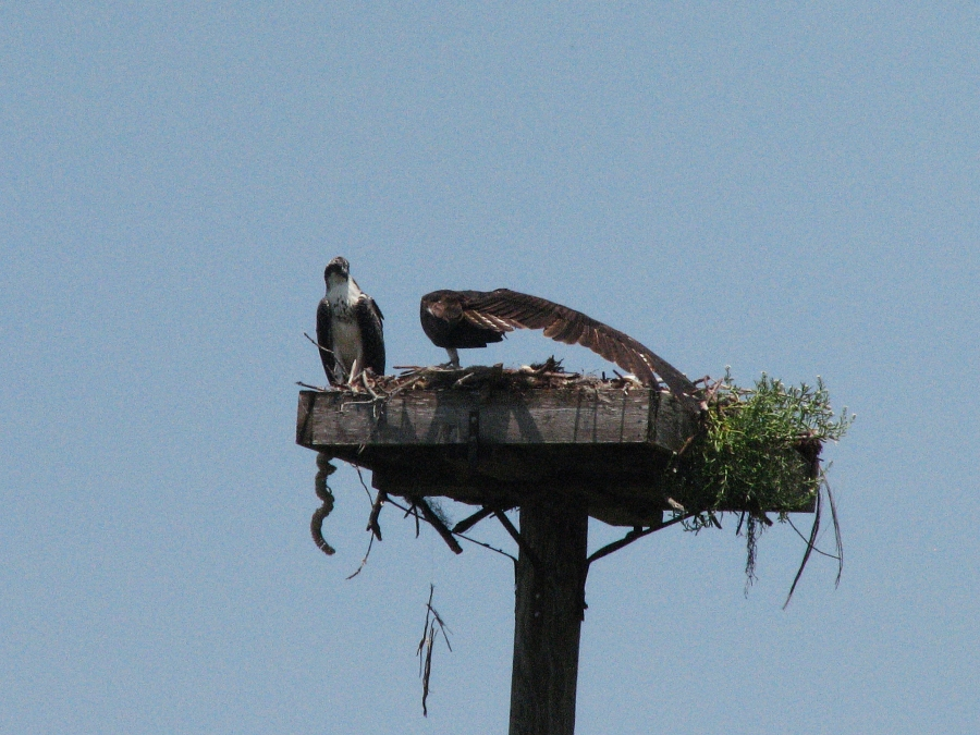 Mama osprey doing Pilates..streeetch...left, right