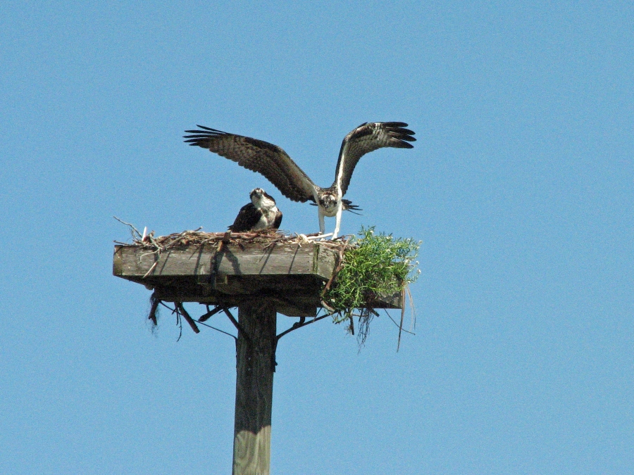 osprey youngster back in the next