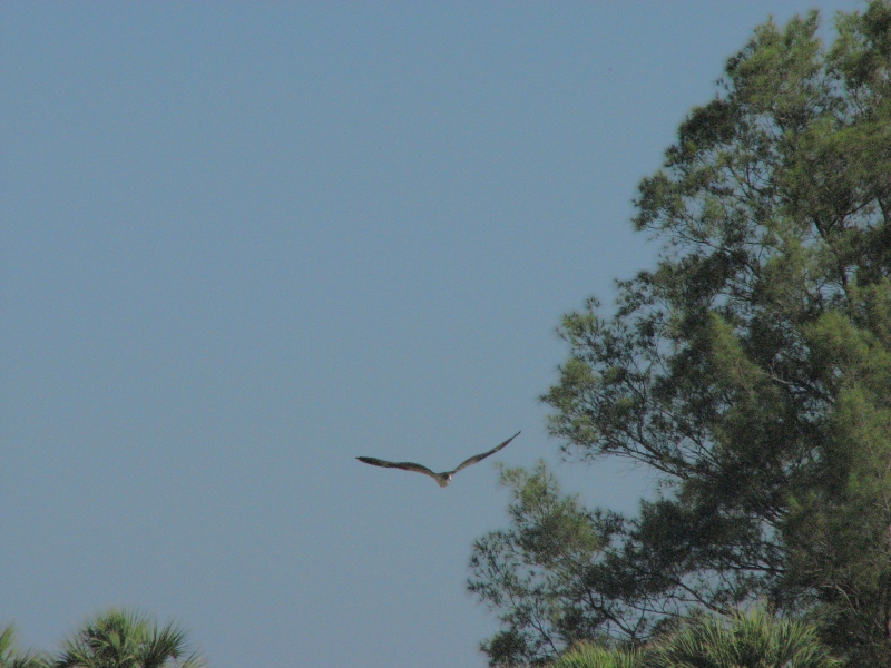 osprey youngster flying 3 May 21