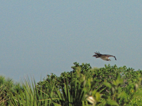 osprey youngster flying 521