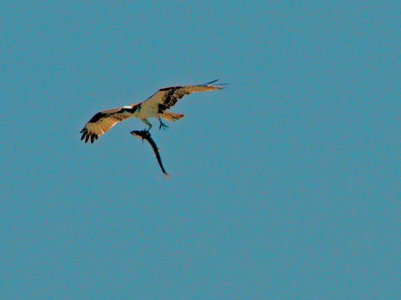 papa osprey bringing home fish for lunch