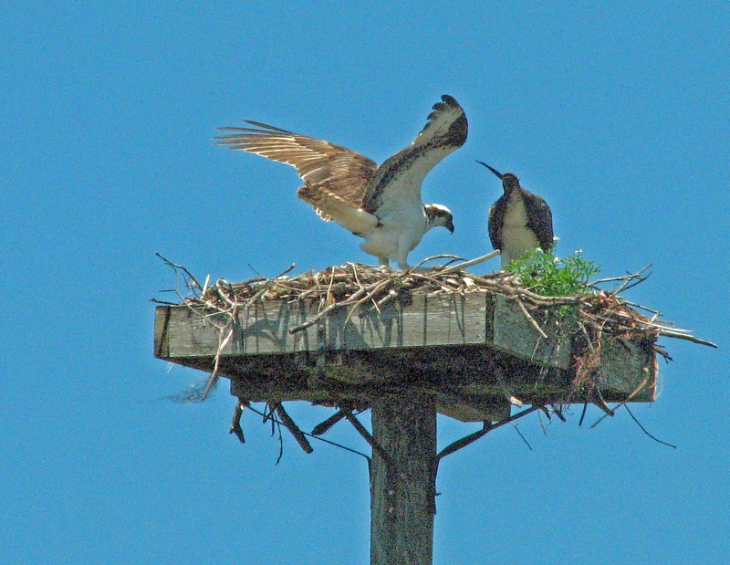 papa osprey brought a stick_edited-1
