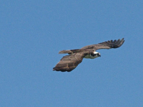 papa osprey flying to get stuff