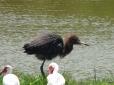 ...the reddish egret