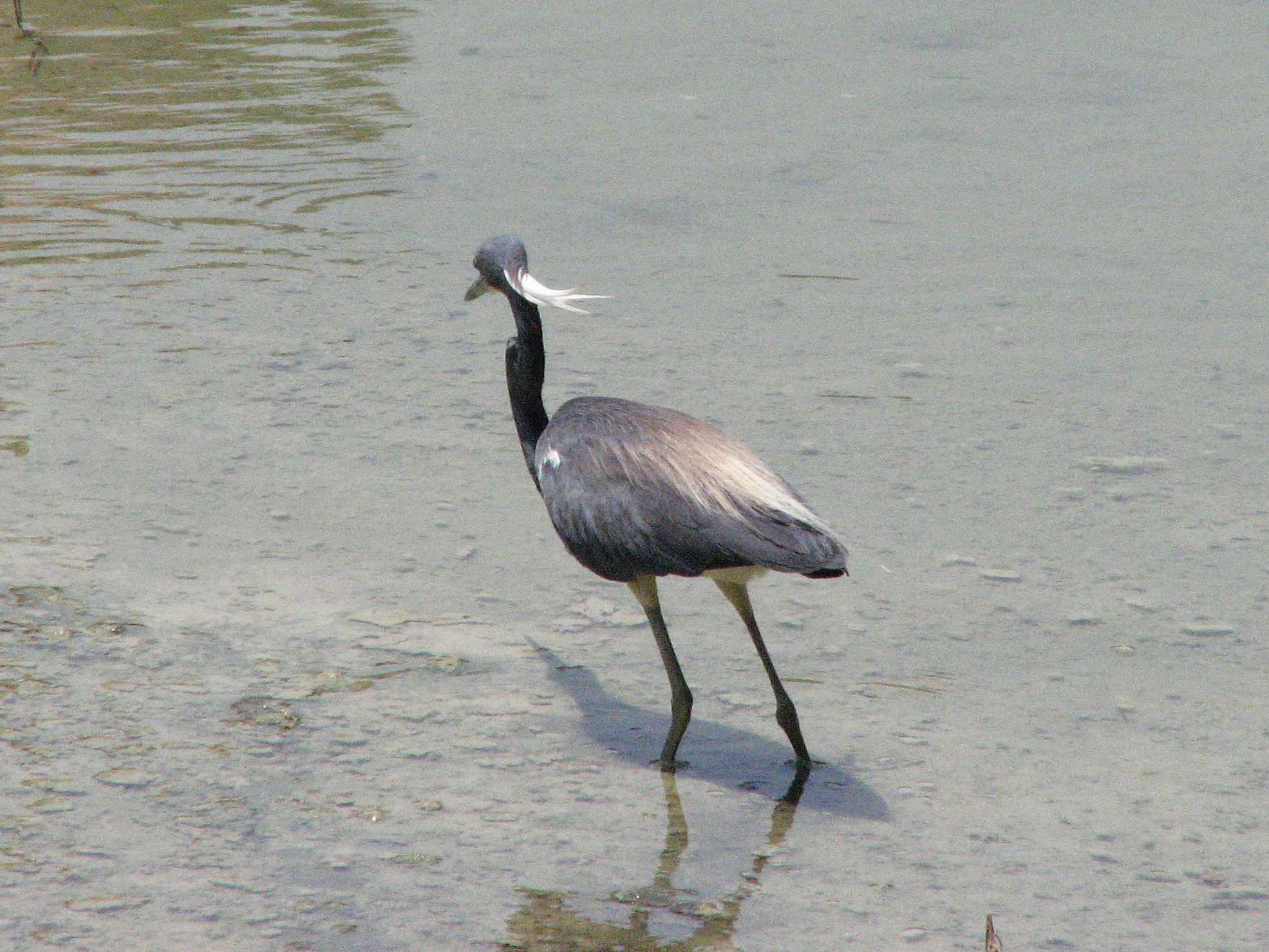 Tri-colored heron in the reserve