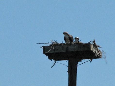 Mama osprey sitting on the egg on Feb 16