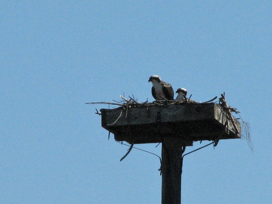 Mama osprey sitting on the egg on Feb 16