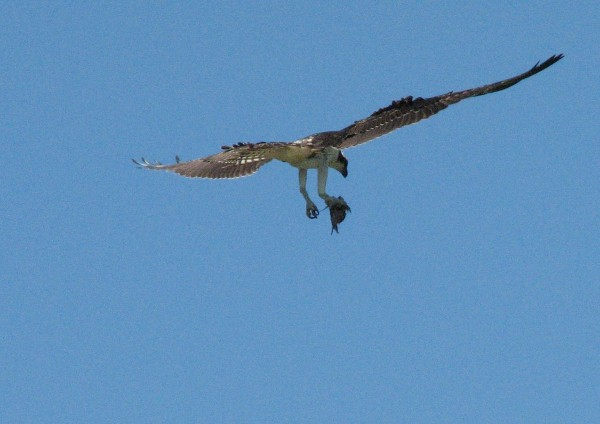 young osprey caught a fish