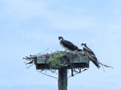 juvenile and papa osprey 603