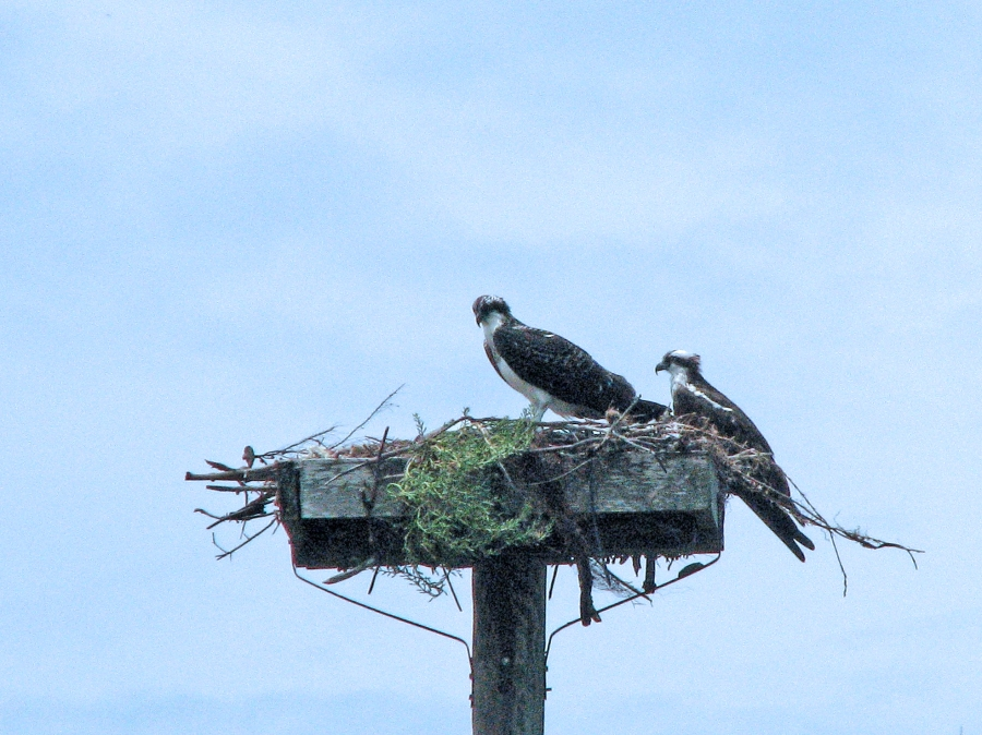 juvenile and papa osprey 603