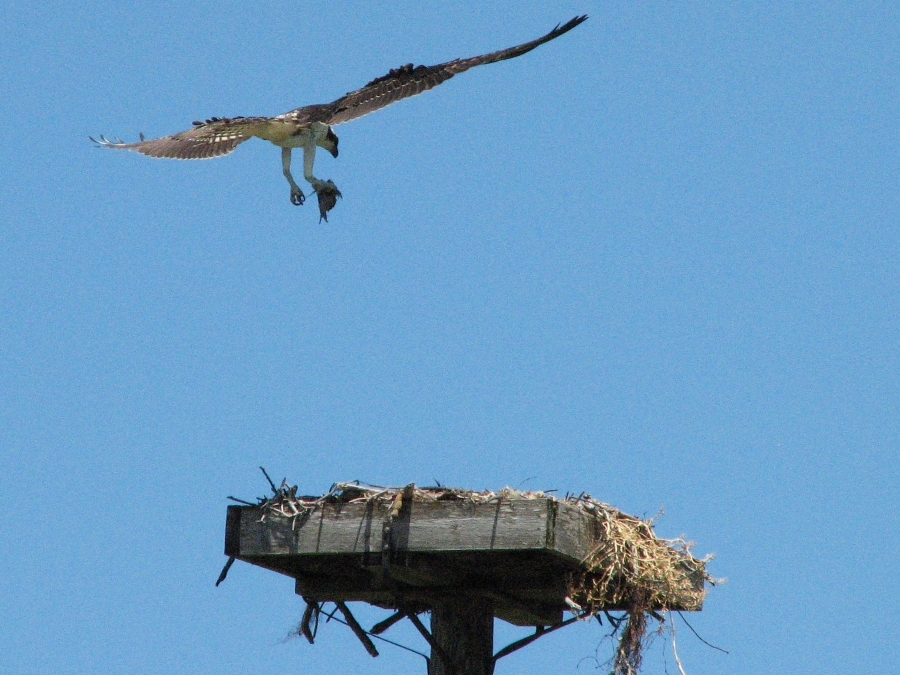 The young osprey comes home after a fishing trip with her papa