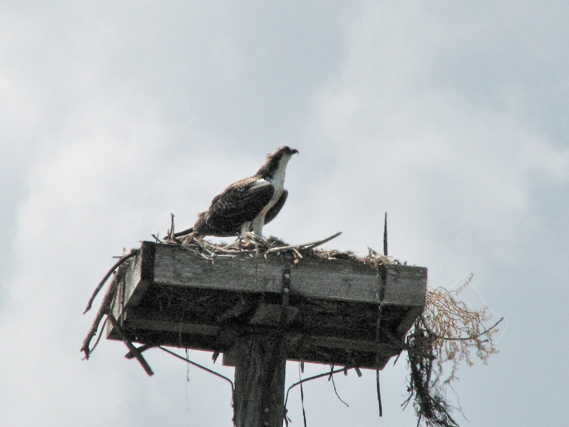 My last picture of the juvenile osprey on June 23