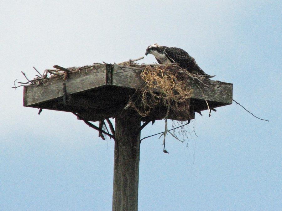 lone juvenile at nest 615