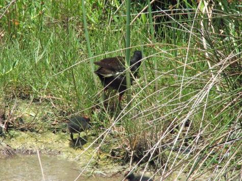 Mama Gallinule and 2 chicks 603