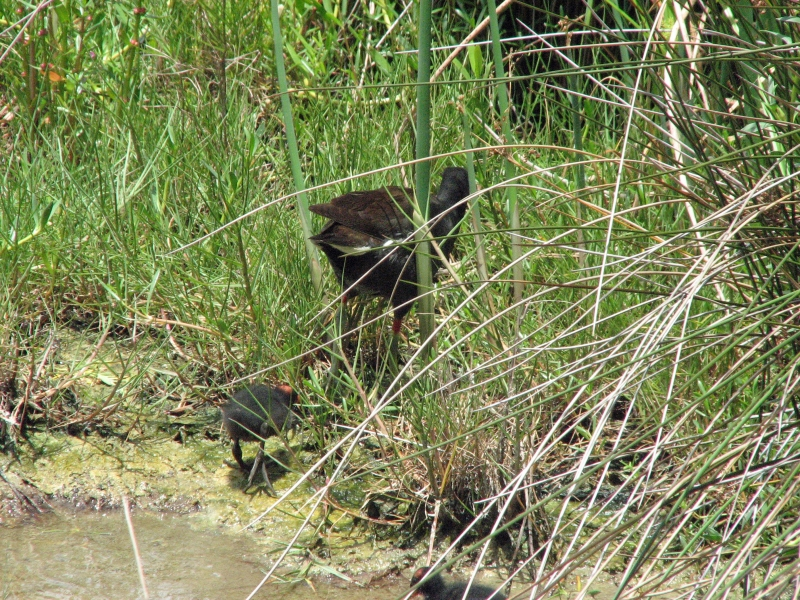 Mama Gallinule and 2 chicks 603