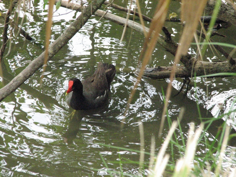 mama common gallinule 615