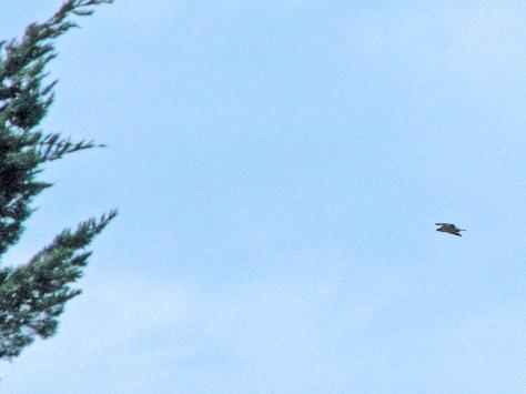 mama osprey flying by 603