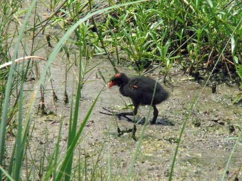 Gallinule  chick no one