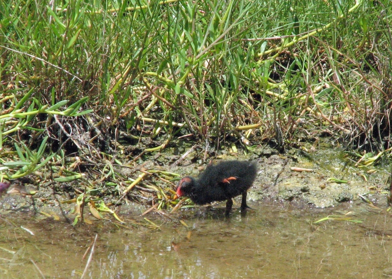 Gallinule chick no two 603