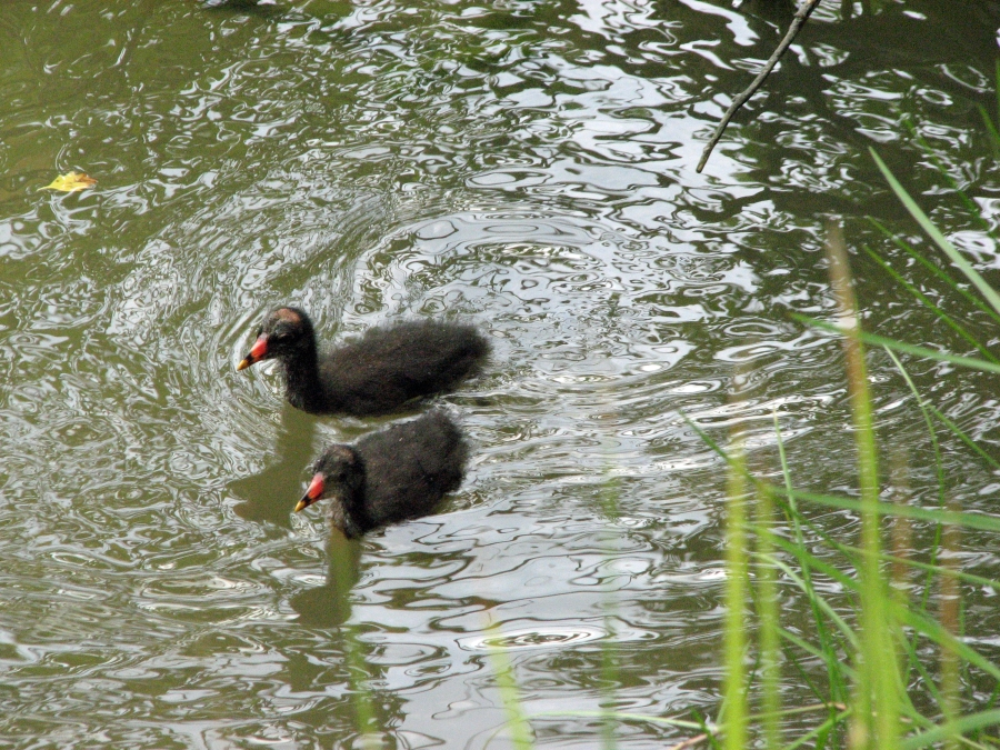 Two common gallinule chicks