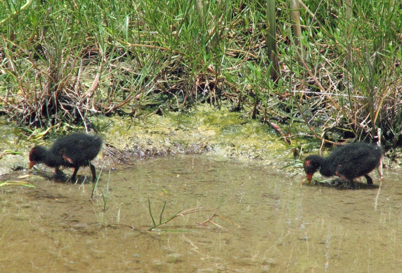 Gallinule chicks two and three 603