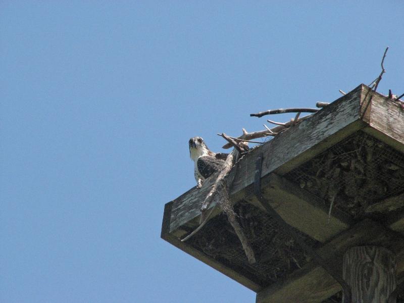 osprey fledgling 605