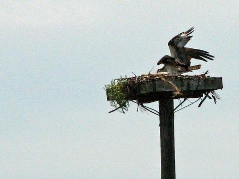 osprey fledgling returns to nest 603
