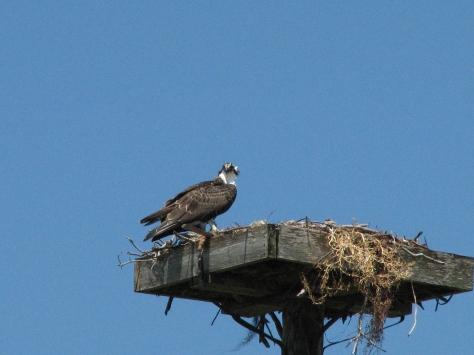 osprey juvenile at the nest