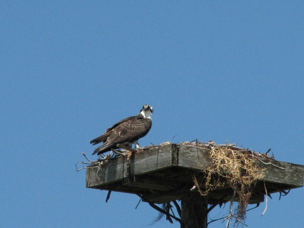 osprey juvenile at the nest