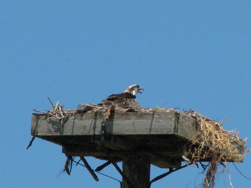 osprey juveniles alarm call