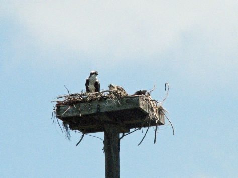 Osprey nestling peeks out on April 23