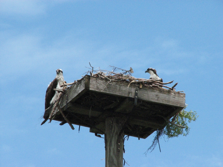 papa osprey and juvenile 603