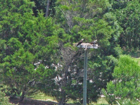Papa osprey and fledgling at the nest (as seen from my terrace)