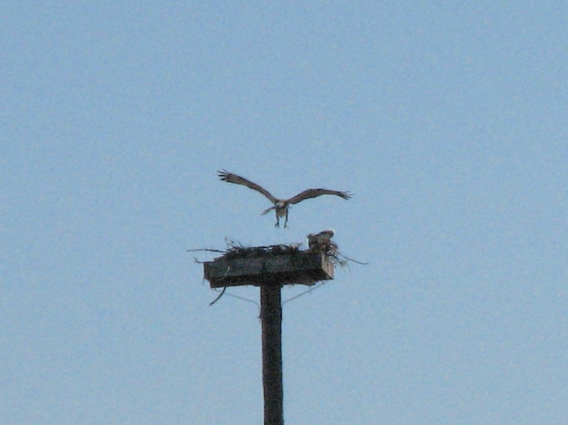 Papa osprey brings in a twig - Jan 16