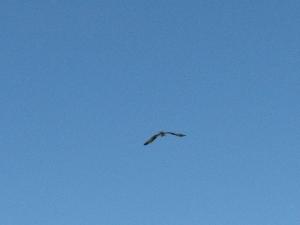 papa osprey came to check juvenile 619