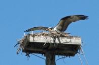 Papa osprey checks the nest