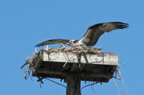 Papa osprey checks the nest