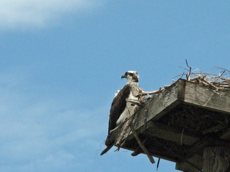 papa osprey looking for mama 603